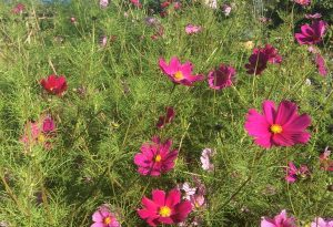 Cosmos Sensation grown by @plansandplants LOVE that colour!