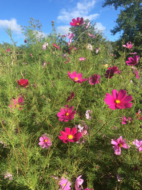Cosmos 'Sensation' grown by @plansandplants LOVE that colour!