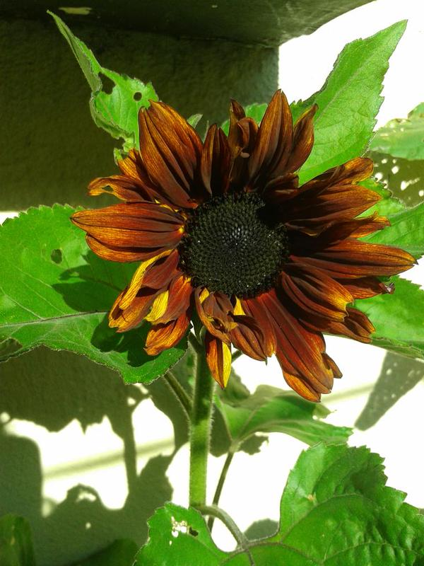 A very handsome looking 'Earthwalker' grown by Beverley @hollow_woman