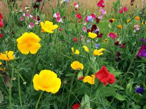 Eschscholzia & Sweet peas hanging out.