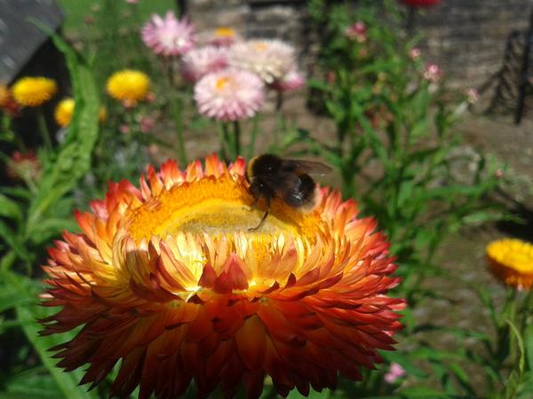 @lindastantonart Photographed this bee having a jolly time on a Helichrysum...and why shouldn't he....
