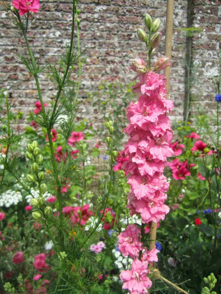 Larkspur hanging out in the walled garden at Port Eliot.