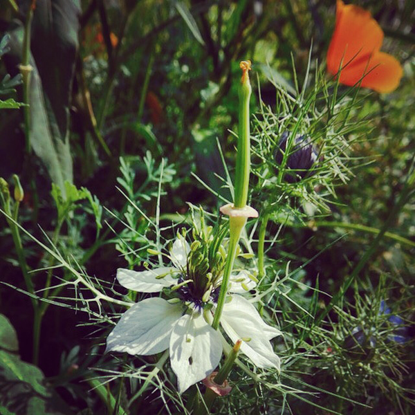Splendiferous Nigella...another from @carolinereading. :)