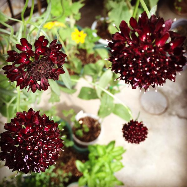 Tatako's balcony in Tokyo continues to do well...here are some of her Scabiosa. Thank you Takako. :)