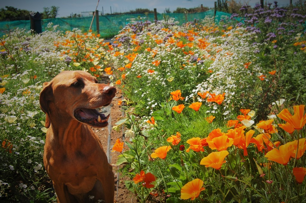 Furface with our Eschscholzia 'Orange King'