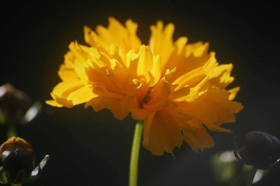 Coreopsis 'Early Sunrise', started flowering last week.