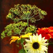 Dill 'Mammoth' with his mate Sunflower 'Vanilla Ice' (Ice baby)