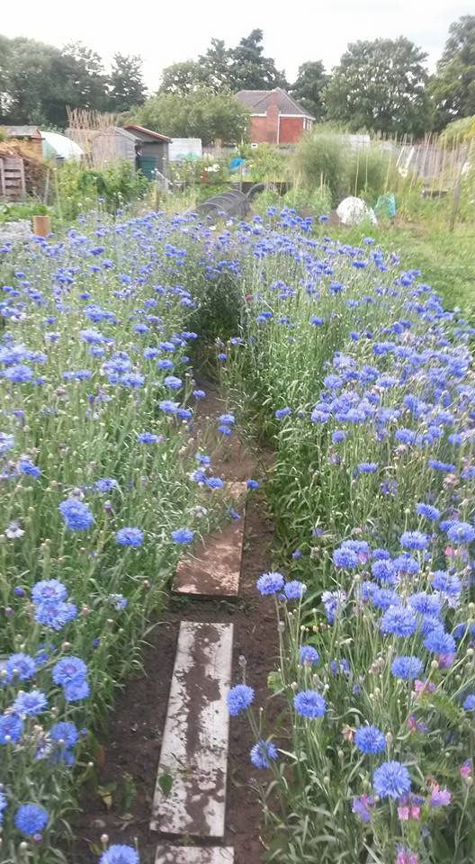 Emma Abrew's cornflower meadow...I bet the bees were having kittens......well...you know what I mean...