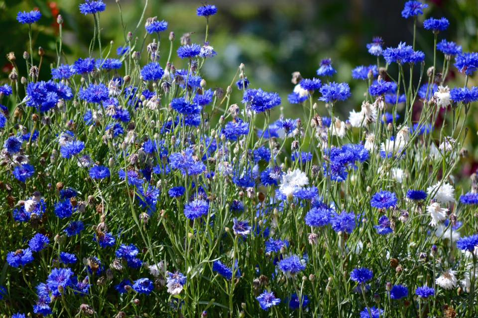 Thank you to Jan Bingley for this. You can see how the older blooms start to go pale. Cornflowers are best harvested just as they are starting to open. Don't forget you can dry them if you have too many.
