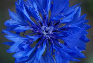 Thanks for this one Majorie Morrison...this pic demonstrates what an intense colour cornflowers can have.