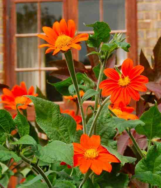Tithonia 'Torch' grown at Trinity College Cambridge.