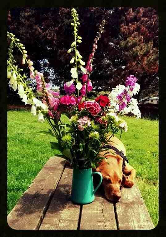 hesperis-flower-biennial