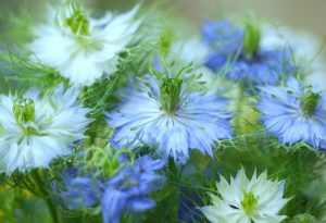 Nigella photographed by the talented Fiori Della Vita…(blog)