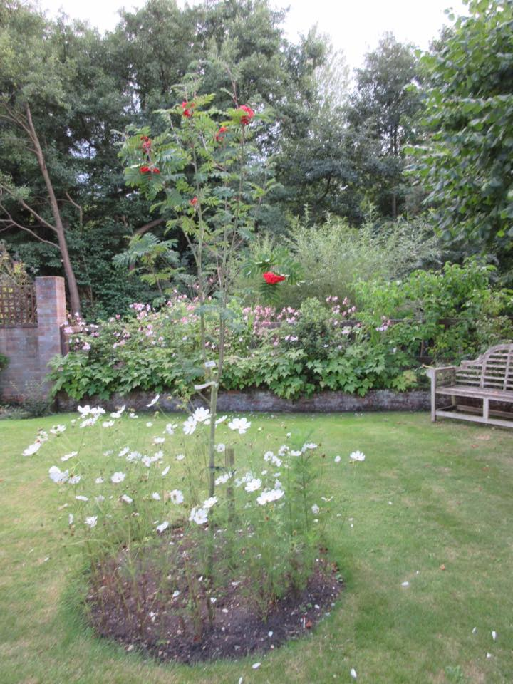 Thank you to Caroline Mansfield for this pic, Carloine says the soil was quite dry.... I think this has made the plants a little lacking in foliage and perhaps more blooms...but lovely to see under the cherry.