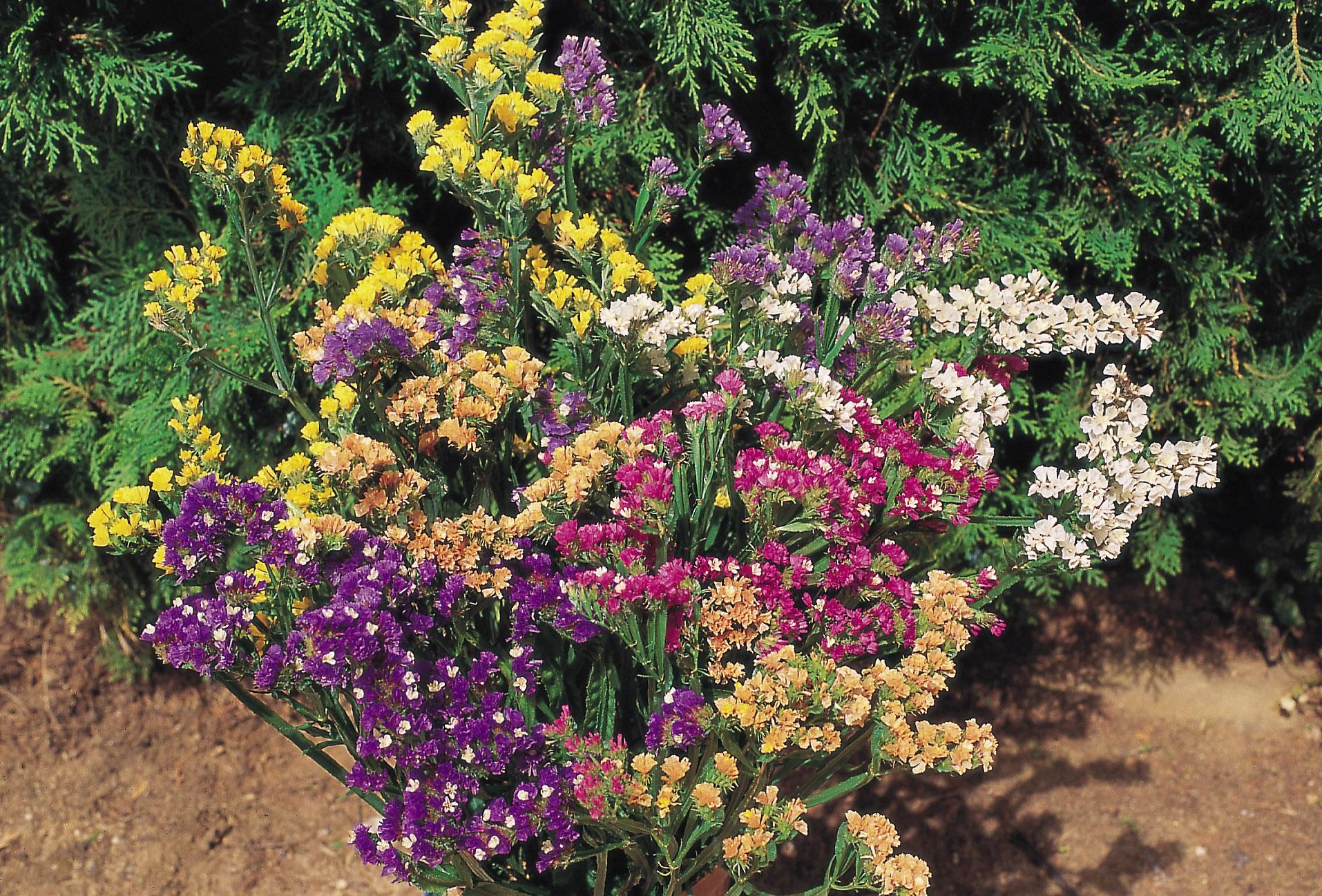 Statice 'Higgledy Mix' – Higgledy Garden