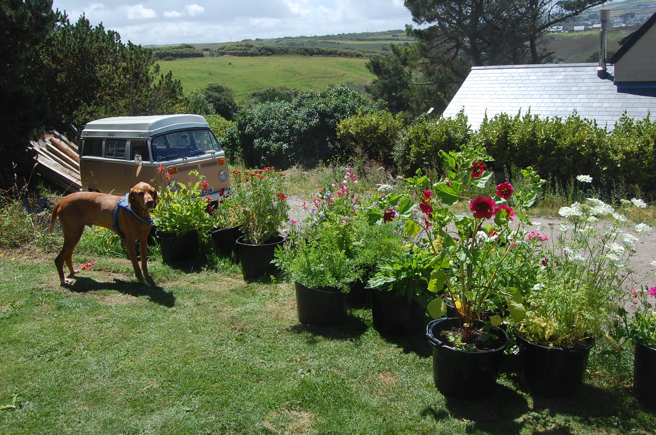 Cut Flower Patch In Containers – Higgledy Garden