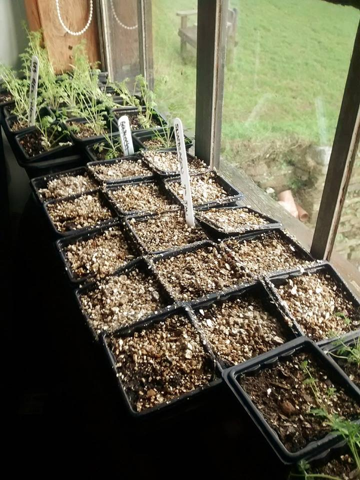 First tray of Snapdragons sown up.