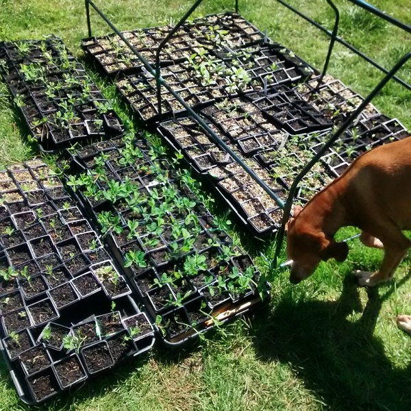 Furface checking seedlings for rabbits.