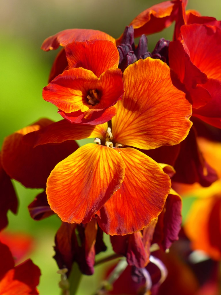 Wallflower 'Fire king'.