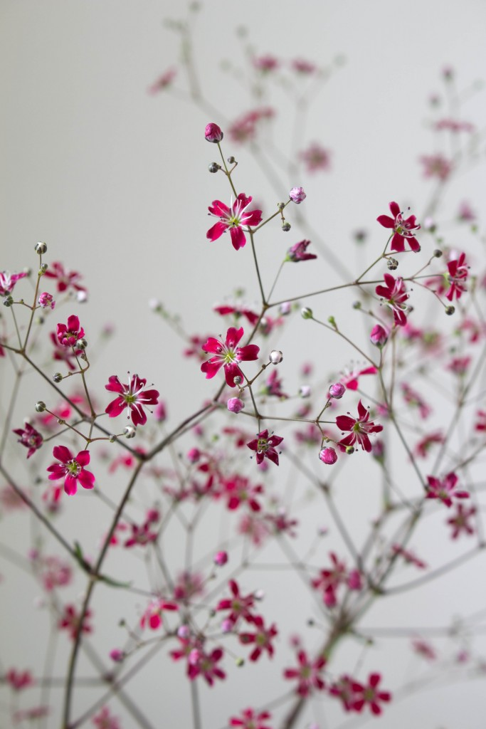 Gypsophila kermesina copyright Ian Curley