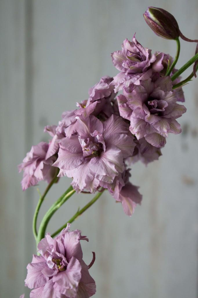 Larkspur 'Misty Lavender' copyright Ian Curley