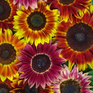 sunflower-harlequin