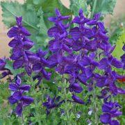 Salvia 'Blue Monday'