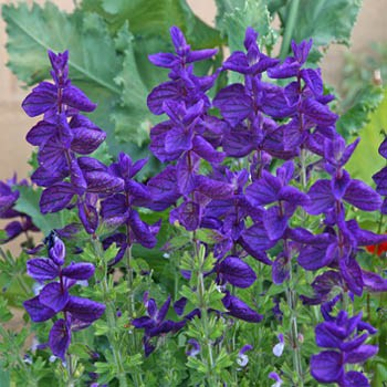 Salvia 'Blue Monday'