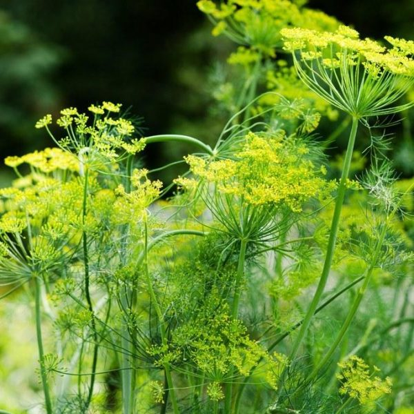 herbs-mammoth-dill-1_800x