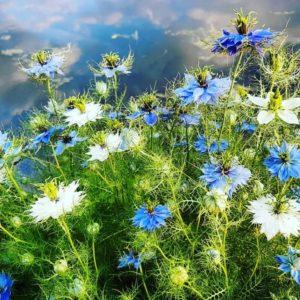 nigella oxford blue