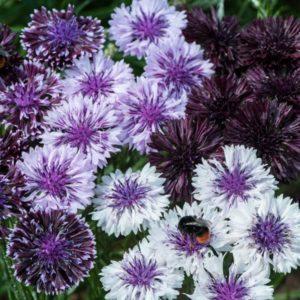 cornflower purple haze