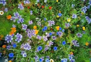 Sowing up a bee-friendly flower patch in autumn. (Or spring for that matter.)