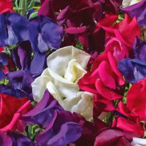 Sweet-Pea-Starry-Night-Mix-Flower-Annual-Mckenzie-Seeds_1400x